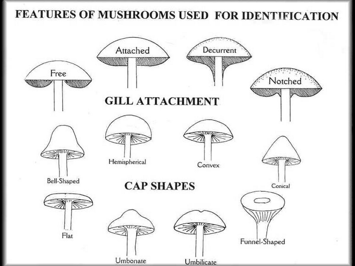 features to id mushrooms gill attachments and cap shapes diagrams