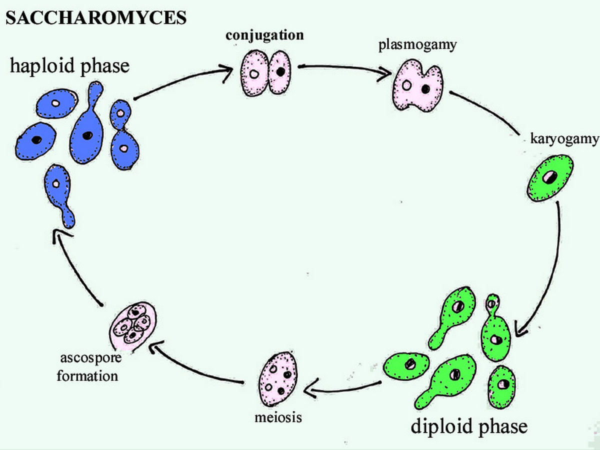 Image Gallery Saccharomyces Diagram